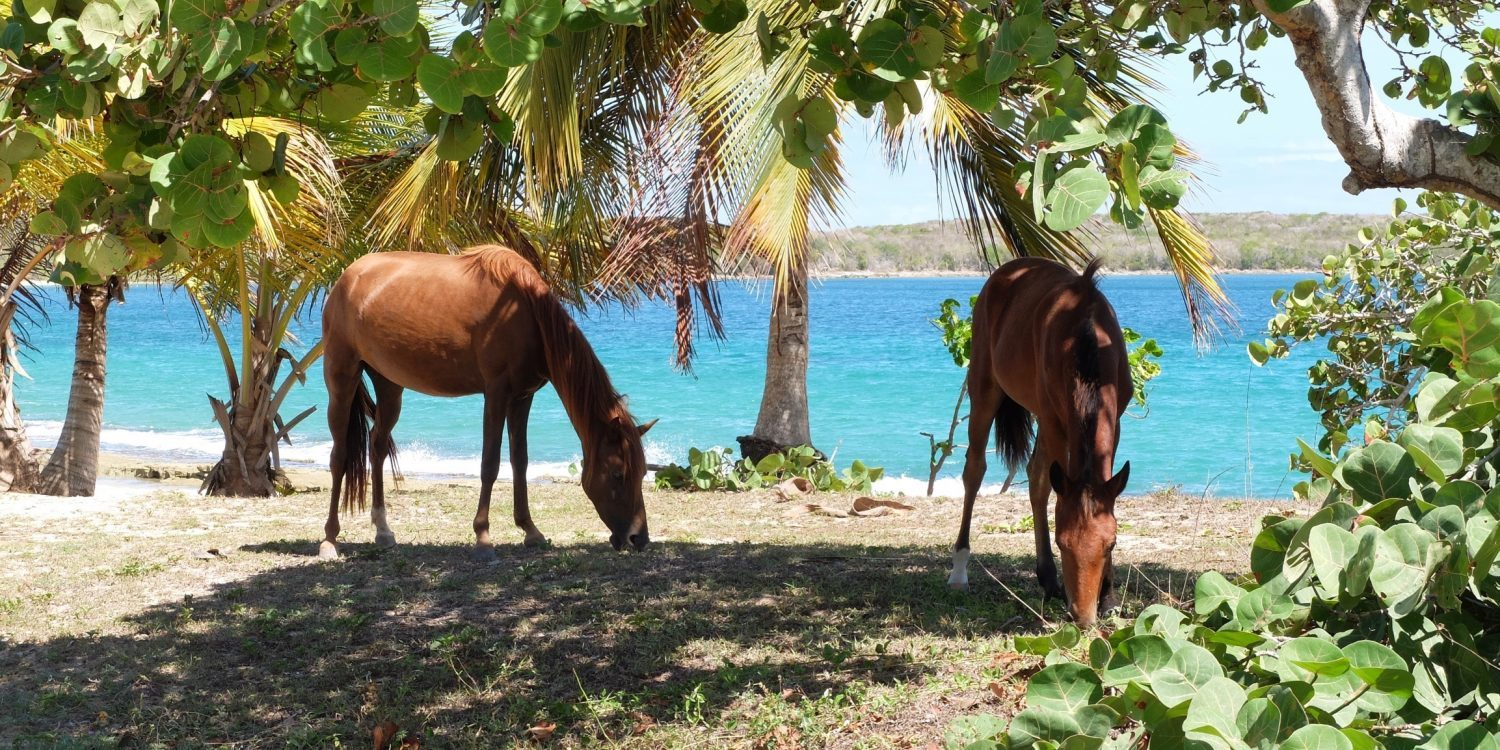 Wild Horses near the ocean in Vieques, Puerto Rico