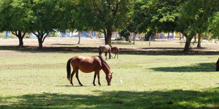 Wild horses grazing in Vieques, Puerto Rico