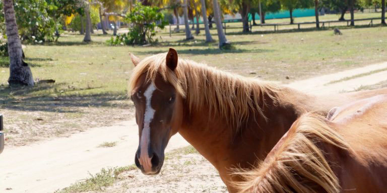 A Friendly wild horse in Vieques, Puerto Rico